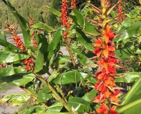 Azores flower