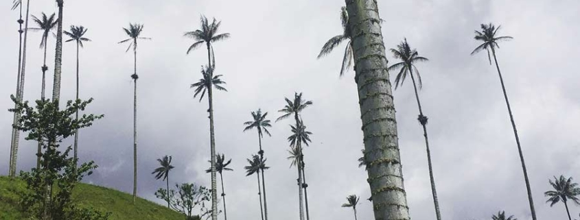 palm trees - cocora valley
